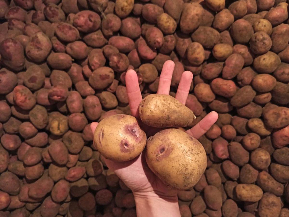Урожай картофеля в связи с применением азотных удобрений