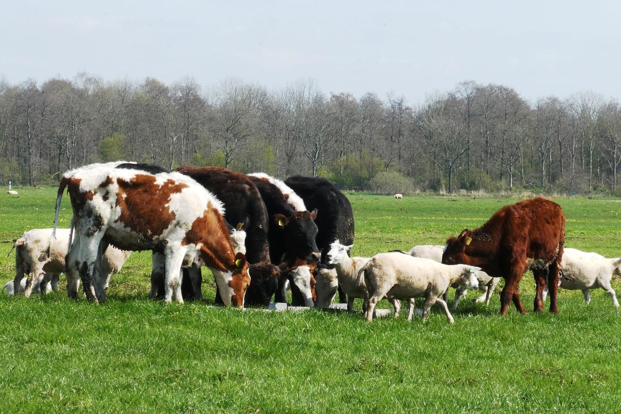 calves-4111703_1280