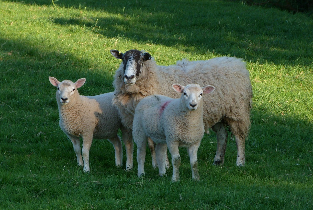 sheep-3467196_1280