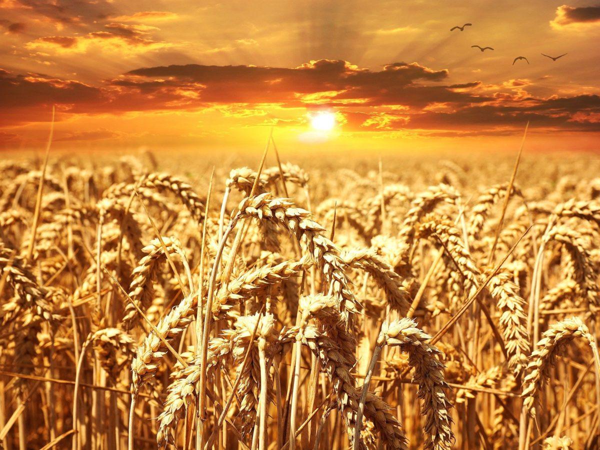 wheat-field-640960_1920